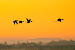 Canadian pink footed geese head out to search for food on the marshland of the RSPB nature reserve in Southport, Merseyside.