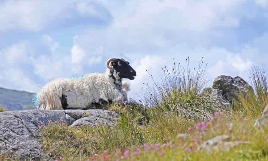 A lone sheep on a hillside