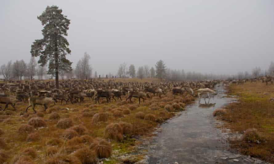A herd of reindeer.
