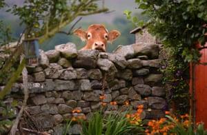 Cow in the Eden valley, Cumbria, September 2018