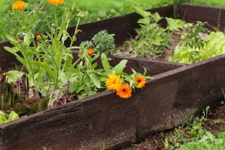 Vegetables and marigolds growing together in a raised garden bed.