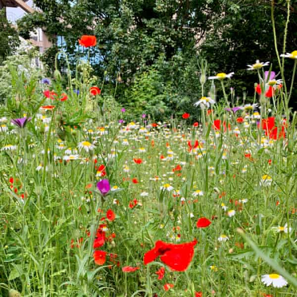 Poppies, corncockle, oxeye daisies and cornflowers growing at Barbican Wildlife Garden.