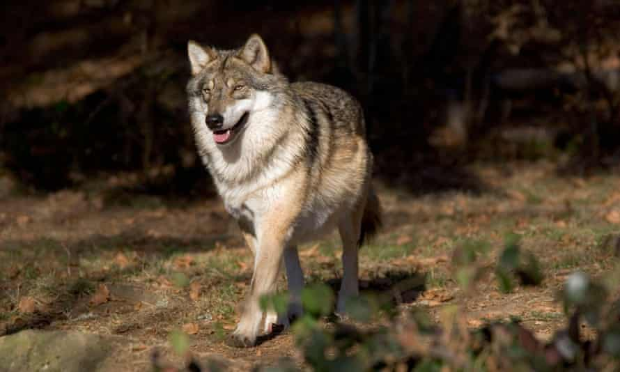 A wolf in the Bavarian forest national park.