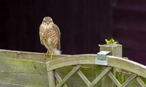 The sparrowhawk perched on a  fence