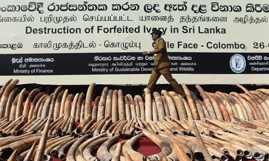 A Sri Lankan customs officer walks near a cache of 'blood ivory' before it was destroyed in Colombo.