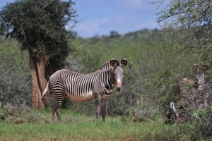 The rare Grevy's zebra at Mpala Research Center and Wildlife Foundation in Kenya