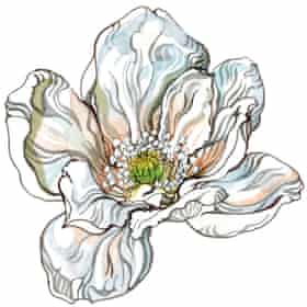 Magnolia flower. Illustration: Hennie Haworth.