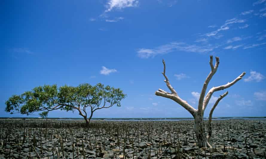 Single mangrove tree amid die-off