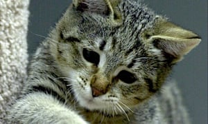 The African wildcat subspecies, Felis silvestris lybica, is the ancestor of all domestic cats today.