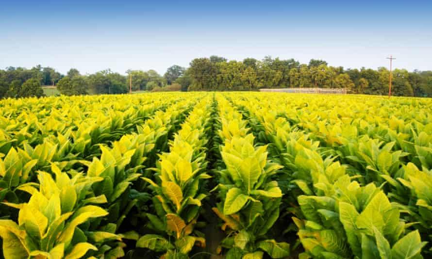 Tobacco plants in Kentucky