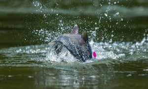 Ocean warming, early melts and commercial fishing have sent king salmon numbers crashing.