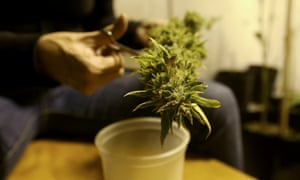A marijuana home grower works on a marijuana flower in his home Montevideo, Uruguay.