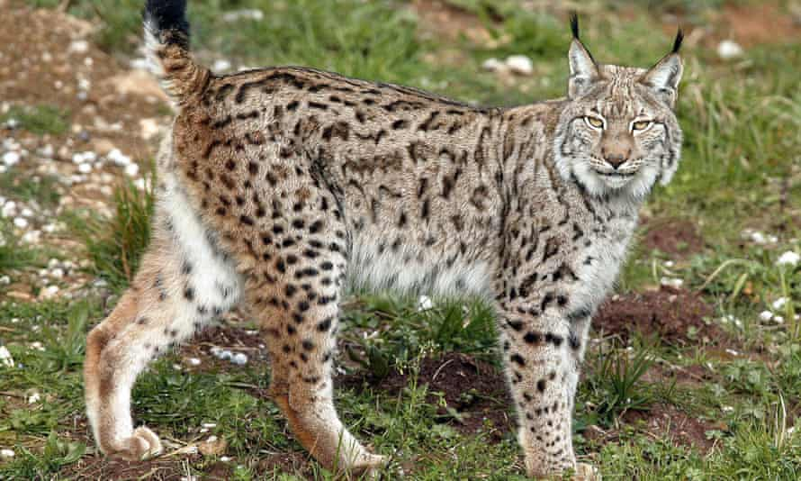 Iberian lynx: numbers are recovering but the main threat now comes from cars.