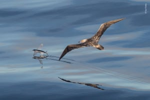 A single juvenile red-footed booby, circling northeast of D'Arros Island in the Outer Islands of the Seychelles.