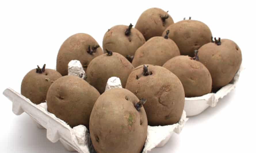 British potato seeds in an egg box.