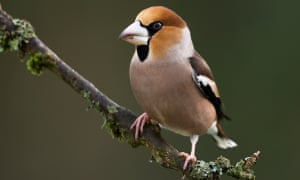 One of a pair of hawfinch that I have tempted out of the ancient oak woodland next to my house in the Forest of Dean.