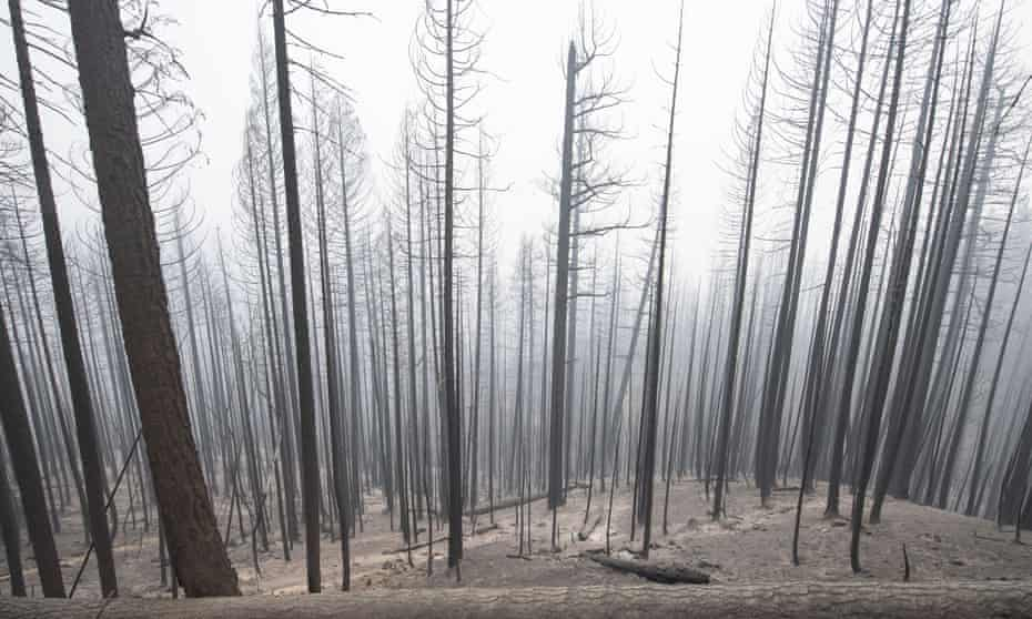 The charred forest outside Greenville, California. The Dixie Fire has burned over a half million acres.