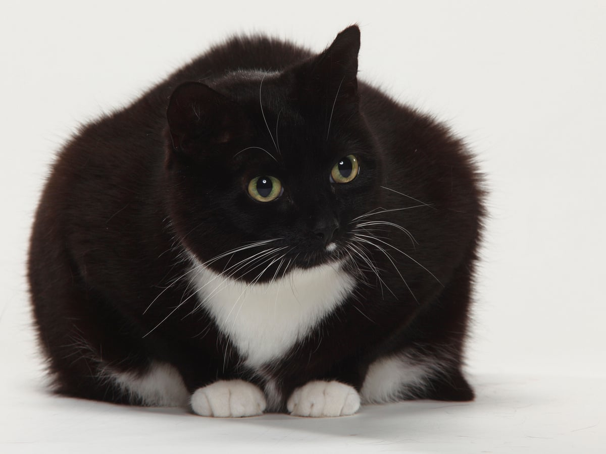 Fat felines we all love a 'chonky' cat – but the online trend has ...