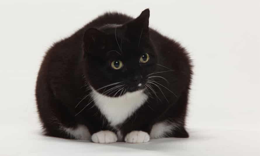 Infelicitous feline ... an overweight cat.