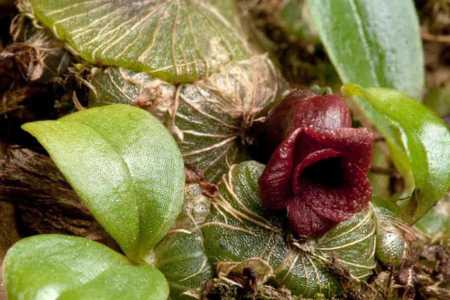A new species of Orchid, Porpax verrucosa
