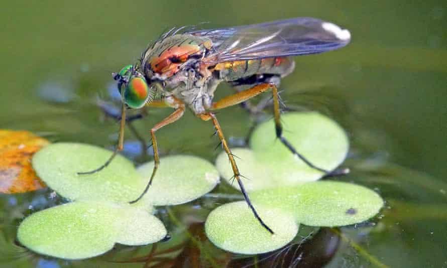 The semaphore fly