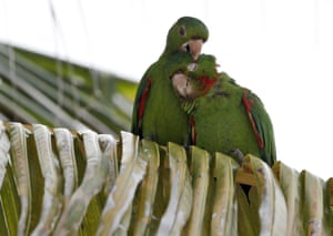 Miami, Florida, US. A pair of mitred parakeets snuggle in a palm tree along Miami beach