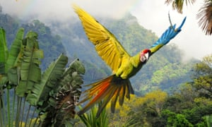 Close up of great green macaw flying through the rainforest in Costa Rica, showing the yellow underside of one wing, the blue top of the other, a red head and green and red tail