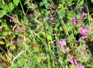 A golden-ringed dragonfly perched on a stem.