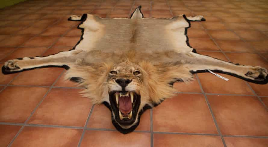 A taxidermy trophy lion. Lion populations have dropped by three quarters in a half century – and many populations are near extinction.