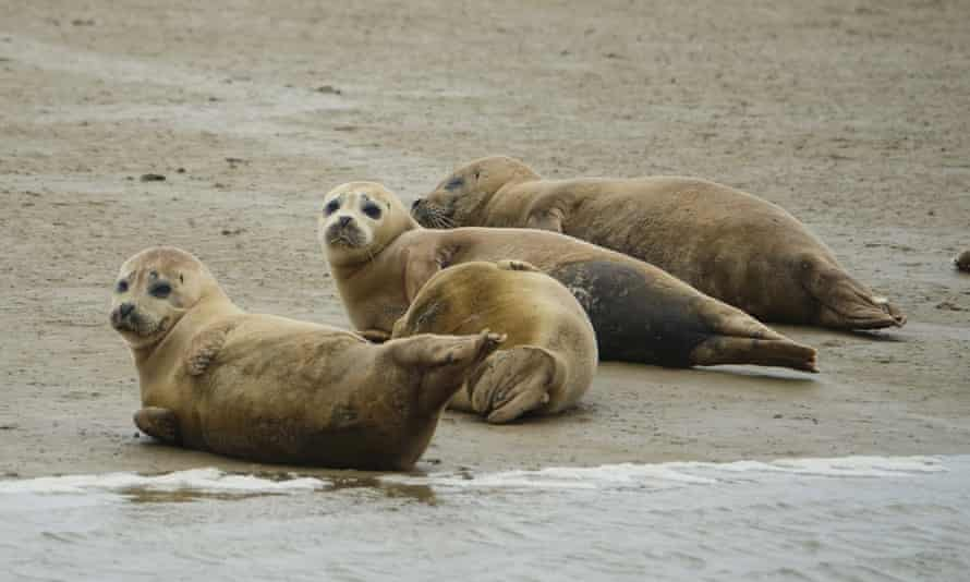 Seal pups in the Thames Estuary.