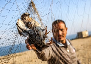 Gaza Strip, Palestine. A man reaches for a quail snared in a trapping net on a beach in Khan Yunis. Locals erect hundreds of metres of yellow silk nets along the coastline to hunt migratory birds, mainly quails, which start arriving at the Mediterranean coast in September