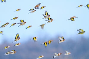 Goldfinches fly over a sunflower field in Ukraine
