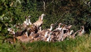 Griffon vultures feed on dead animals in the reserve Uvac Lake, 350 km south-west from Belgrade, Serbia. Over 500 specimens of Griffon Vultures inhabit the stone walls above the reserve. With a weight of about 10 kg and a wingspan of about 300 cm, they are some of the largest birds in Serbia.