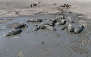 Cattle and hippo wallow in the mud in Lake Ngami, Botswana