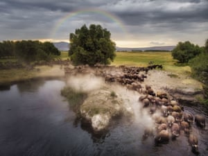 A buffalo herd is passing a lake before moving to its shelter where the herd will retreat to rest. Turkey