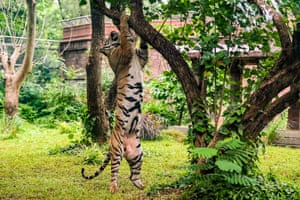 Munbai: Shakti, a Bengal tiger, tries to reach piece of meat kept on a tree on World Tiger Day