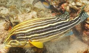 An adult blue bastard fish