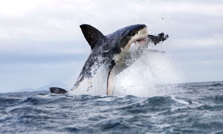 The dense population of Cape fur seals attracts the seal's main predator, the great white shark.