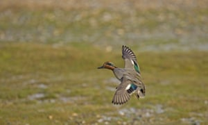 Common teal male in flight