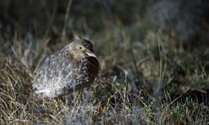 A male Plains Wanderer in the south eastern plains grasslands of Australia