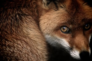 Animal portraits highly commended (2013): Fox Glance (red fox) by Samuel Morris, Thetford Forest, Norfolk