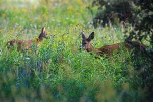 Roe deer stand in a meadow near Homokkomarom, southwestern Hungary.