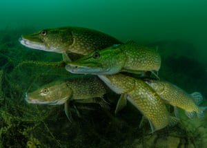 Most promising British underwater photographer of the year – winner. How many pike? by Tony Stephenson (UK). Location: Stoney Cove, Leicestershire, UK   Stephenson noted that this 'group' of male pikes were looking for a mate. Once they found one they pursued her relentlessly and were completely transfixed on gaining her attention. This allowed him to get close in front of the fish, fill the frame and led to him getting lots of good eye contact