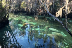 Manatees crowd into Three Sisters Springs in Crystal River, along Florida's Gulf coast