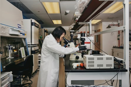 Wenning Qin, director of genome engineering in the cell culture lab, looks at engineered pig cells under the microscope in her lab at eGenesis