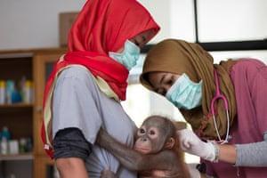 Vet Sulhi Aufa examines Didik pre-op as he clings to one of the team's vet nurses.