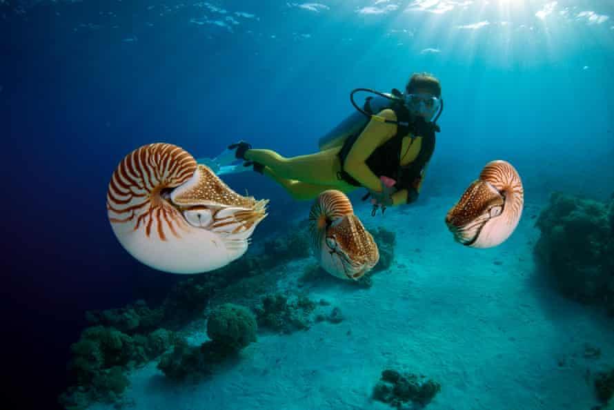 Scuba diver watching Palau nautiluses.