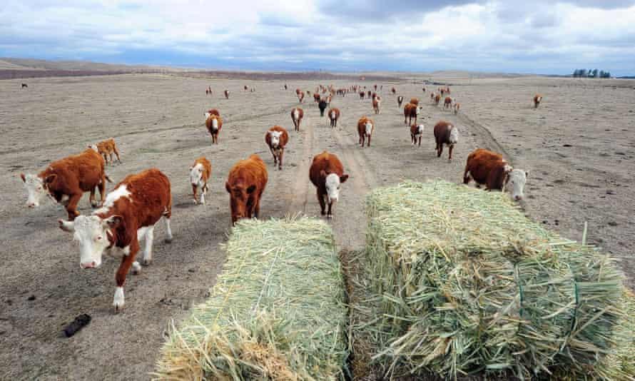 Cattle farming in California.