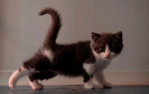 Garlic, China's first cloned kitten.