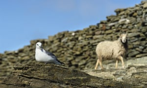 North Ronaldsay, Orkney's most isolated island.